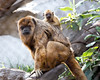 "Black Howler Monkey, ""Lincecum"", and her baby, about 2 months old.  He now rides on Mom's back."