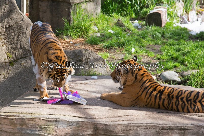 After getting out of the bubble bath, Jillian tears open one of her birthday boxes.  (Jillian & her mom, Leanne - Sumatran Tigers)