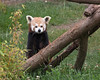 Hillary, a Red Panda, getting ready to climb up to her tree house.