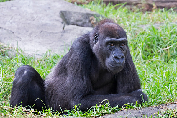 """Penny for your thoughts..."" (Hasani, a young Western Lowland Gorilla)"