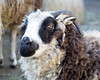 One of the Jacob's Sheep at the Family Farm, at the Children's Zoo.