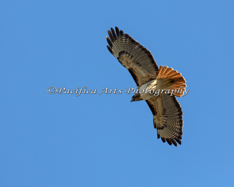 Red-tailed Hawk, flying near Lake Merced.