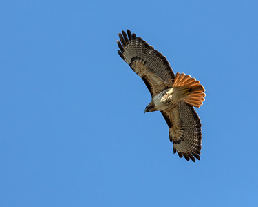 Red-tailed Hawk, flying near Lake Merced.