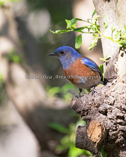 Western Bluebird near the Las Gallinas ponds in San Rafael, California