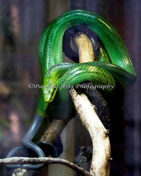 Red-tailed Green Rat Snake.  Do you see a red tail?  Neither do I!