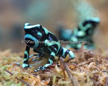 Reeeedeeeep! (Green & Black Poison Dart Frog)