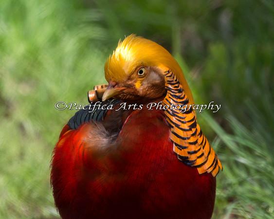 Golden Pheasant - looks more like King Tut to me!