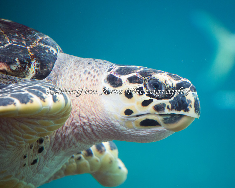 A close-up of a Hawksbill Sea Turtle