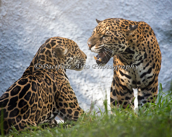 A one way conversation.  (Jaguars - female on left, male on right