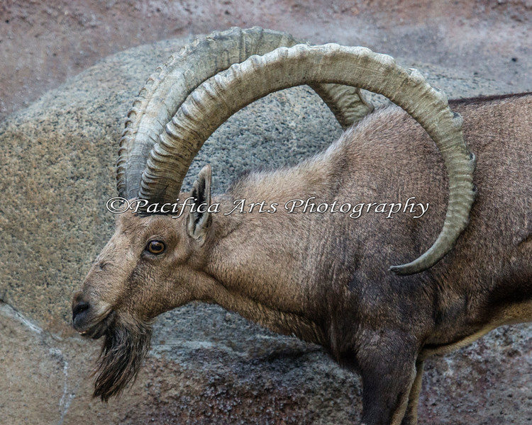 Just look at the size of these horns!  (male Nubian Ibex)