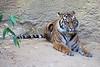 """New Sumatran Tiger, """"CJ"""""""