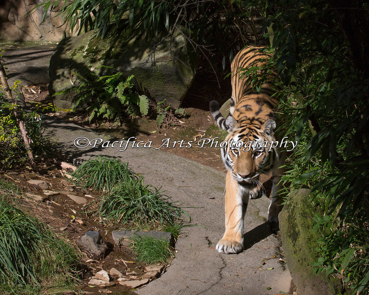 "Male Amur Tiger, ""Mikhail"", walking around his exhibit"