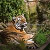 """Male Amur Tiger, """"Mikhail"""""""