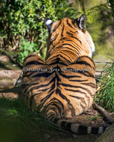 Tigers are beautiful from both ends! (Amur Tiger)