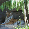 Amur (Siberian) Tiger.  She's a beauty!