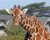 """Did you bring me some Acacia leaves?"" (Bititi, a female Reticulated Giraffe)"