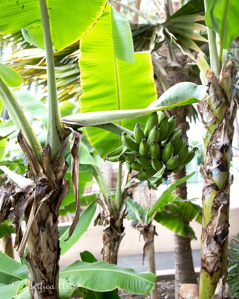 Look!  Real Bananas!!!