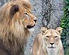 Jahari & Sukari (African Lions)