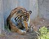 Face-washing time!  (Larry, the Sumatran Tiger)