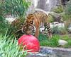 Jillian had great fun playing with this ball in the water!  (Sumatran Tiger)