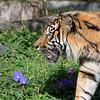 Larry, a Sumatran Tiger