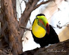 Keel-billed Toucan in the South American Aviary