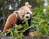 Bamboo for Breakfast!  Yum!!!  (Red Panda)