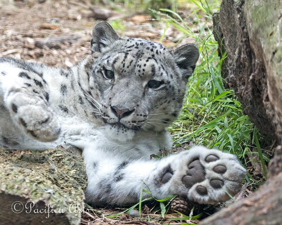 Kelly, a Snow Leopard, stretching out on the grass.  Love those big, furry paws!