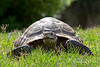 """""""Cactus"""", a Desert Tortoise, came out this afternoon to walk around on the grass."""