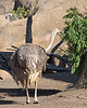 I didn't know that Ostriches liked acacia, but this one does!  Nomnomnom!