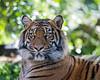 """Sumatran Tiger, """"Jillian"""""""