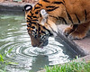 Time for a drink.  (Sumatran Tiger, Leanne)