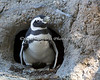 Magellanic Penguin comes out to see the Zoo visitors.
