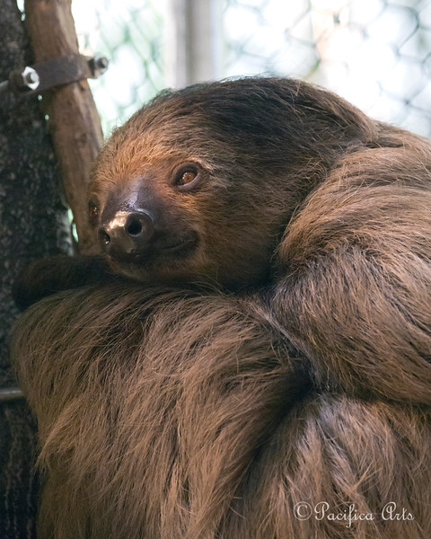 """Linneaus's Two-toed Sloth, """"Moony"""""""