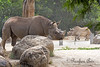 Black Rhinoceros - Boone is up front, and Elly, his Grandma, is in the back.
