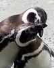 Amorous Penguins (Magellanic Penguin)