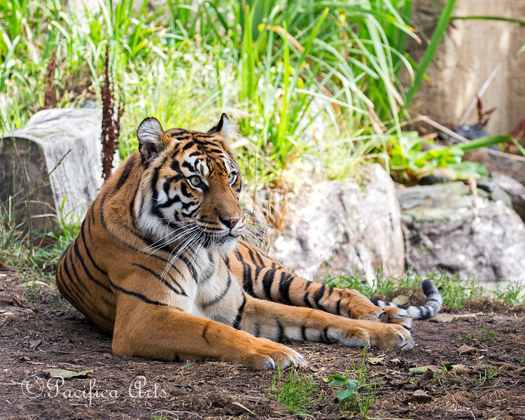 Leanne, a Sumatran Tiger, relines in the shade.
