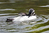 Magellanic Penguin doing a little preening while floating around in the pool.  Looks mighty clean to me!