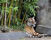 Martha, a Siberian or Amur Tiger