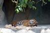 Sweet dreams, Larry!  (Sumatran Tiger)