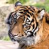 Jillian  (Sumatran Tiger)