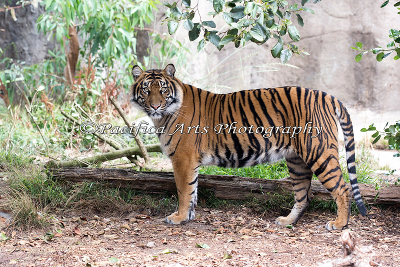 Jillian has grown into quite a beauty!<br /> (Sumatran Tiger, about 2 years, 6 months)