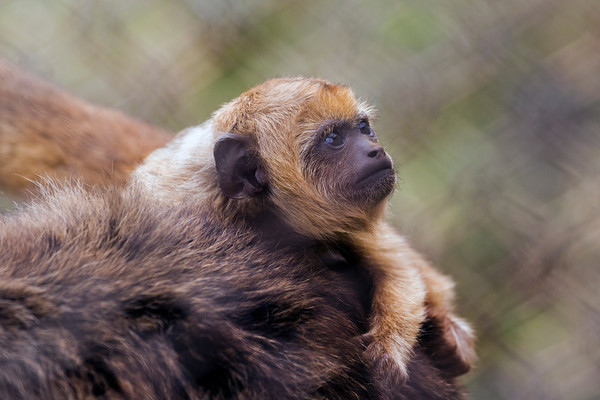 """""""A view from Mom's back""""  (Baby Black Howler Monkey)"""