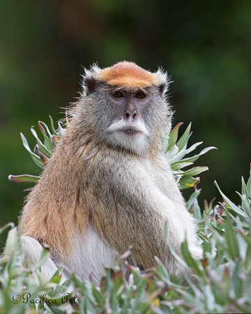 Emma, a female Patas Monkey