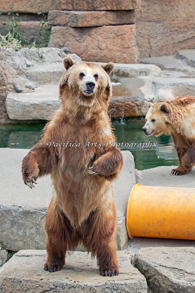 Grizzly Bears, Kiona (standing) and Kachina (behind).  The last time I took a photo of the bears standing was in 2009!  Thanks Sandy! :D
