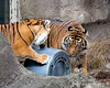 """Jillian and Leanne (Sumatran Tigers) play with a big plastic garbage can during """"Boo at the Zoo""""."""