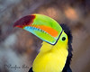 """So......What's up?""<br /> (Keel-billed Toucan)"