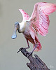 Roseate Spoonbill stretching its wings