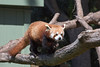 Red Panda traveling from one tree house platform to another.