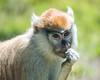 Young Patas Monkey, Freida